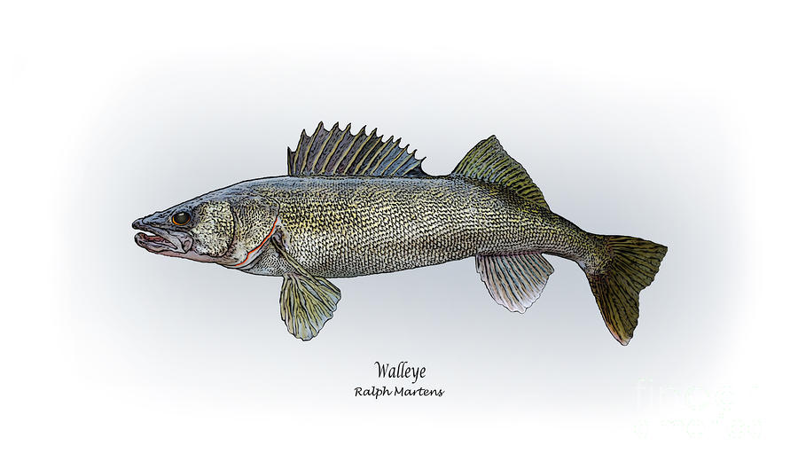 Walleye Painting  - Walleye Fine Art Print