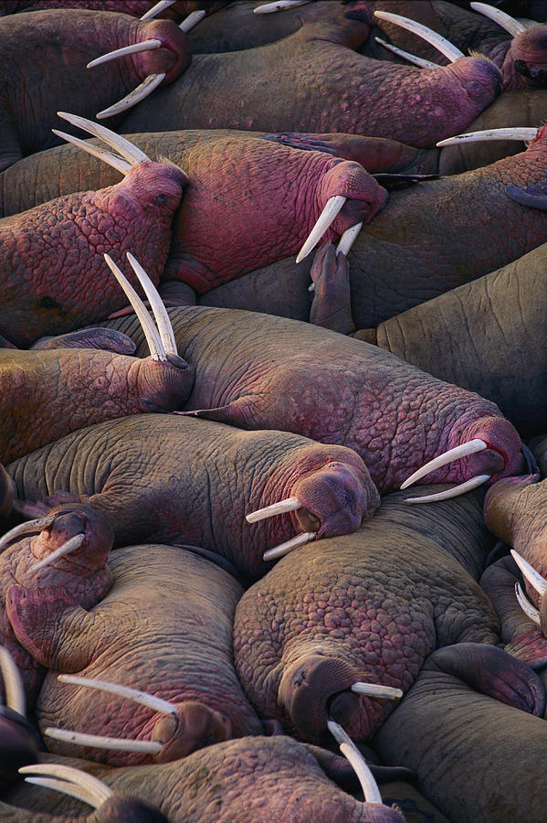 Walruses On The Beach Photograph