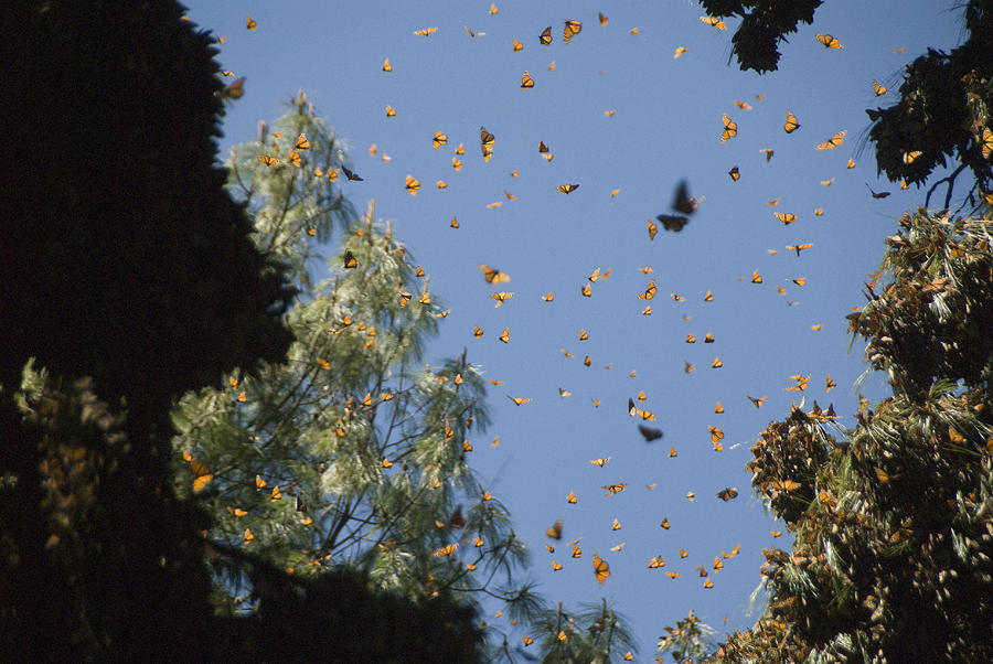 Color Image Photograph - Warmed By The Sun, Thousands Of Monarch by Annie Griffiths