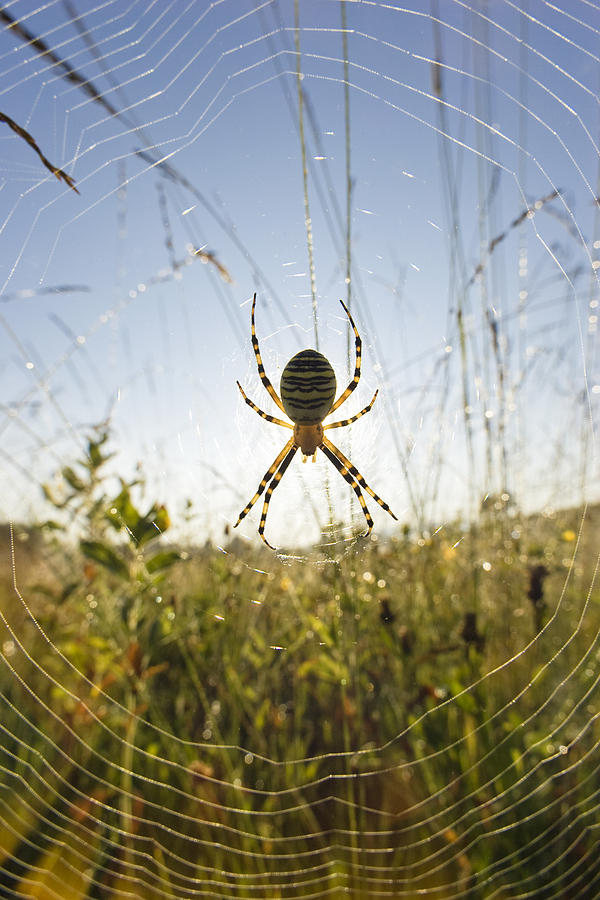 Wasp Spider Argiope Bruennichi In Web Photograph  - Wasp Spider Argiope Bruennichi In Web Fine Art Print
