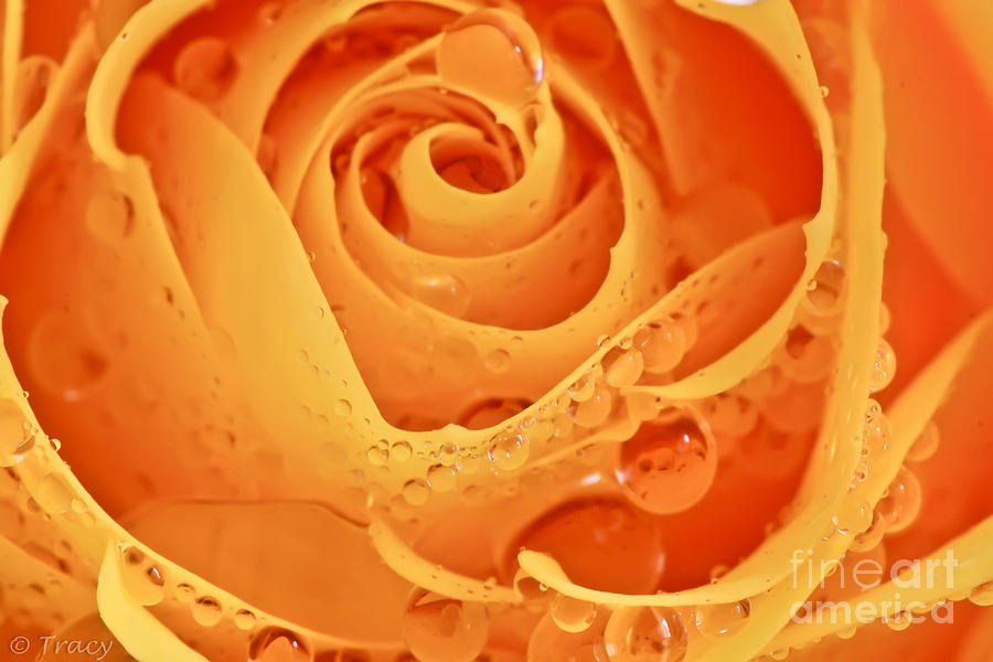 Water Drop Rose Photograph