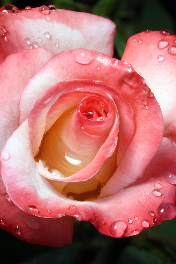 Water Droplets On Rose Photograph