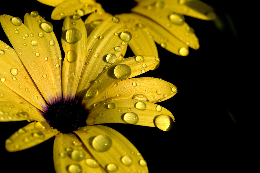 Water Drops On An Osteospermum Hybrid Photograph  - Water Drops On An Osteospermum Hybrid Fine Art Print