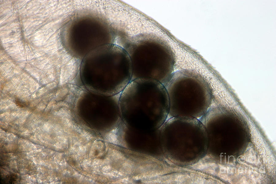 Water Flea Daphnia Magna Eggs Photograph