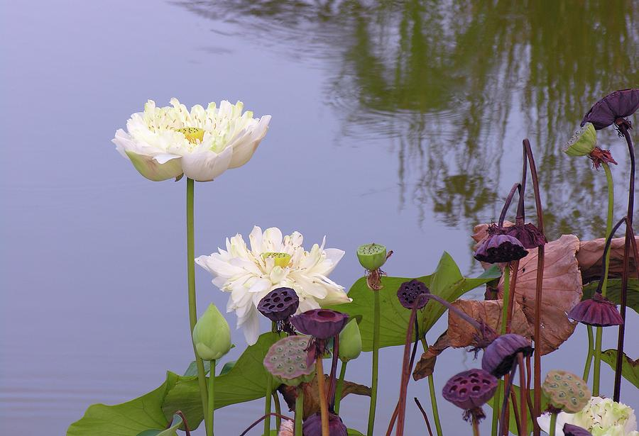 Water Flowers Photograph