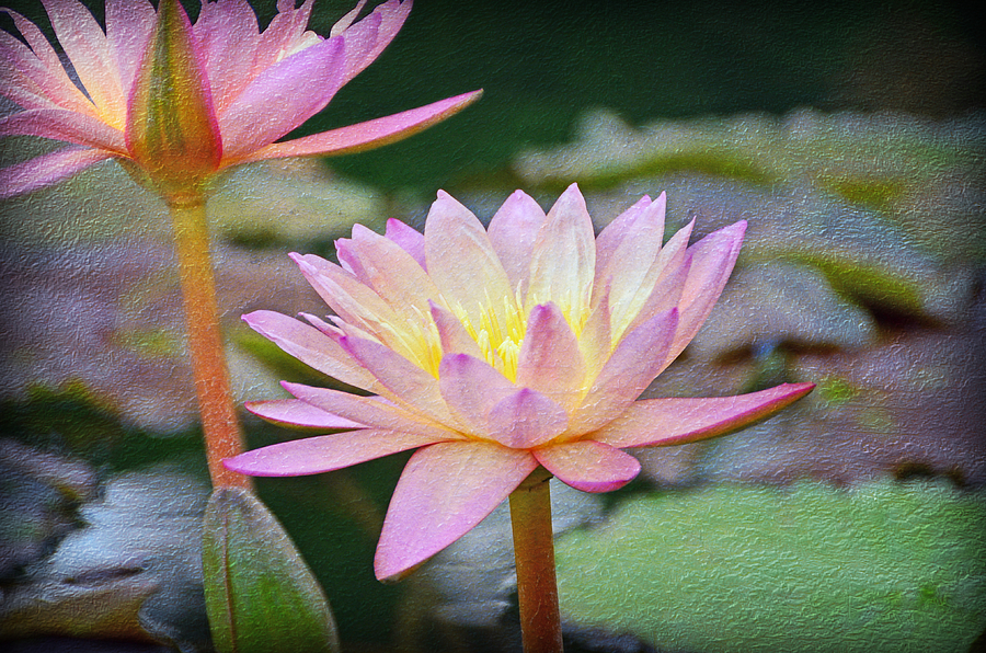 Floral Photograph - Water Lilies by Steven  Michael