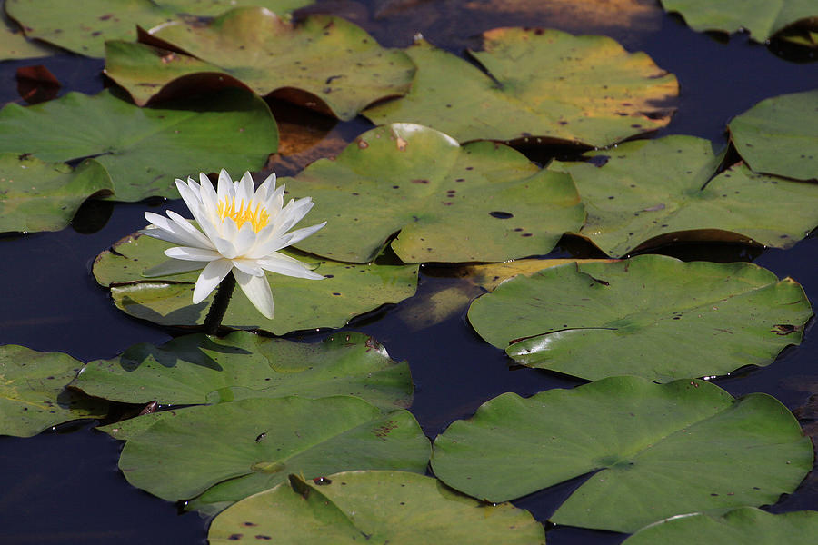 Water Lilly Photograph  - Water Lilly Fine Art Print