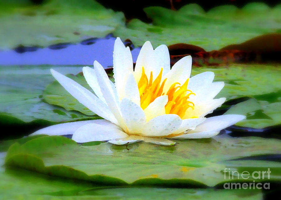 Water Lily - Digital Painting Photograph  - Water Lily - Digital Painting Fine Art Print