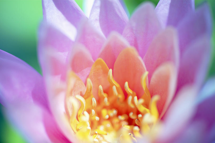 Water Lily Center Photograph  - Water Lily Center Fine Art Print