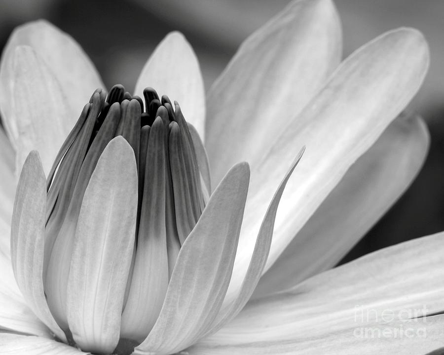 Water Lily Opening Photograph