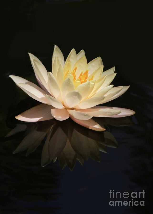 Water Lily Reflected Photograph