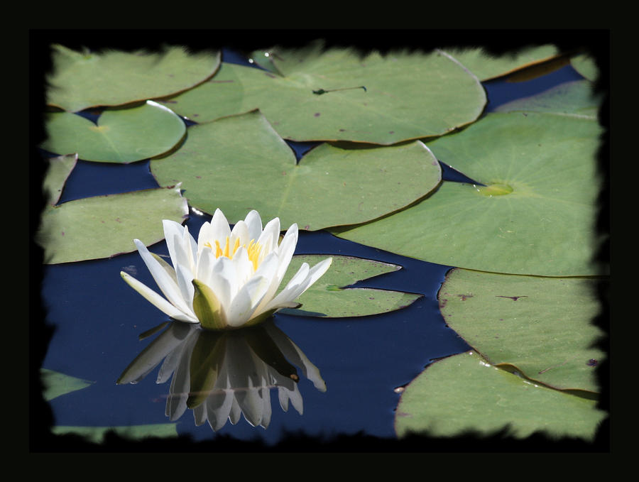 Water Lily With Black Border Photograph  - Water Lily With Black Border Fine Art Print