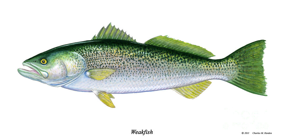 Weakfish Or Squeteague Painting  - Weakfish Or Squeteague Fine Art Print