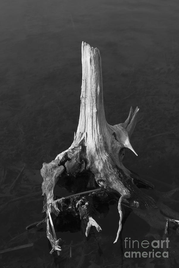 Weathered Stump Photograph  - Weathered Stump Fine Art Print