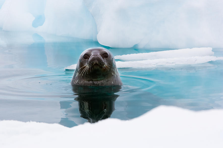Horizontal Photograph - Weddell Seal Looking Up Out Of The Water, Antarctica by Mint Images/ Art Wolfe