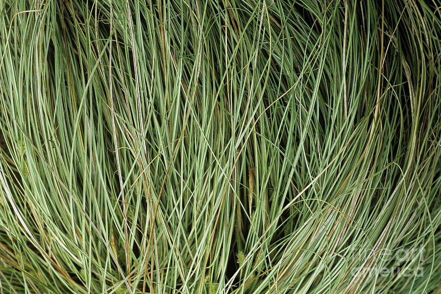 Weeping Sedge (carex Oshimensis) Photograph