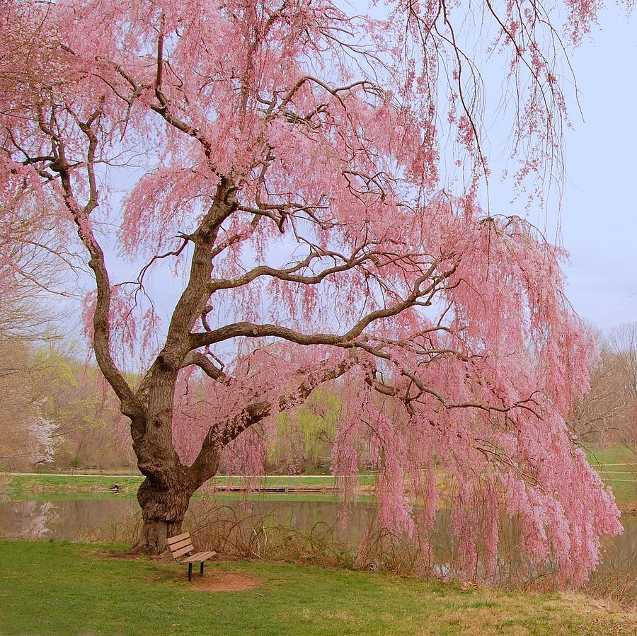 blossom park tree pink - photo #33