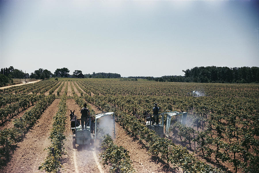 Welchs Grape Vineyard Covers 250 Acres Photograph