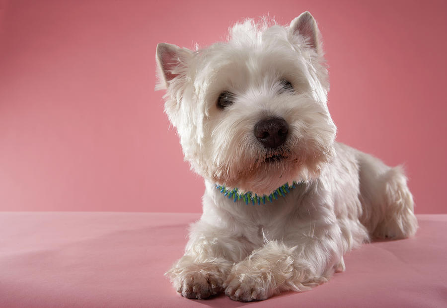 West Highland Terrier Lying Down Photograph By Chris Amaral