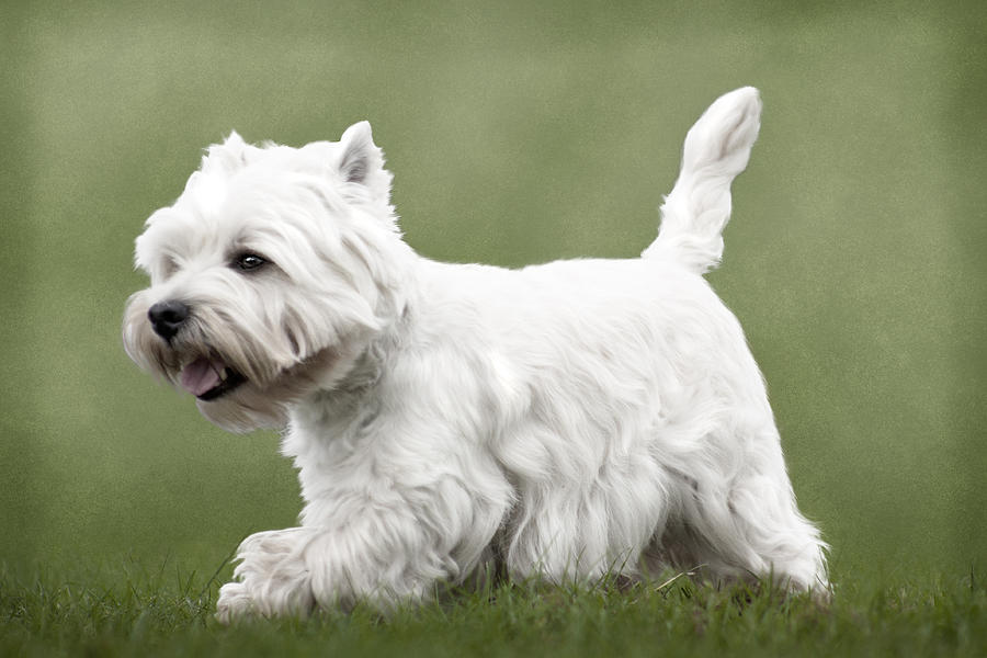 Scottish terrier haircuts