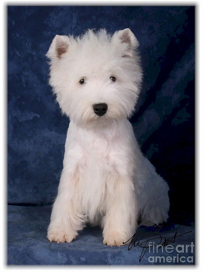 West Highland White Terrier Pup Digital Art  - West Highland White Terrier Pup Fine Art Print