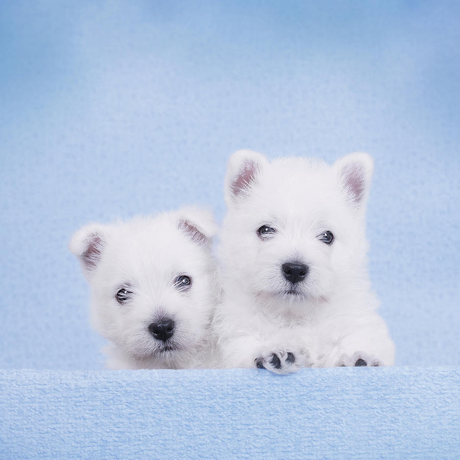 West Highland White Terrier Puppies Photograph  - West Highland White Terrier Puppies Fine Art Print