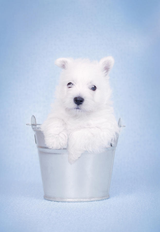 West Highland White Terrier Puppy In The Bucket  Photograph  - West Highland White Terrier Puppy In The Bucket  Fine Art Print