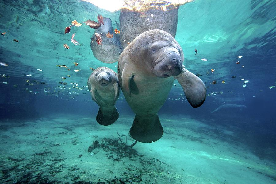 West Indian Manatees Photograph