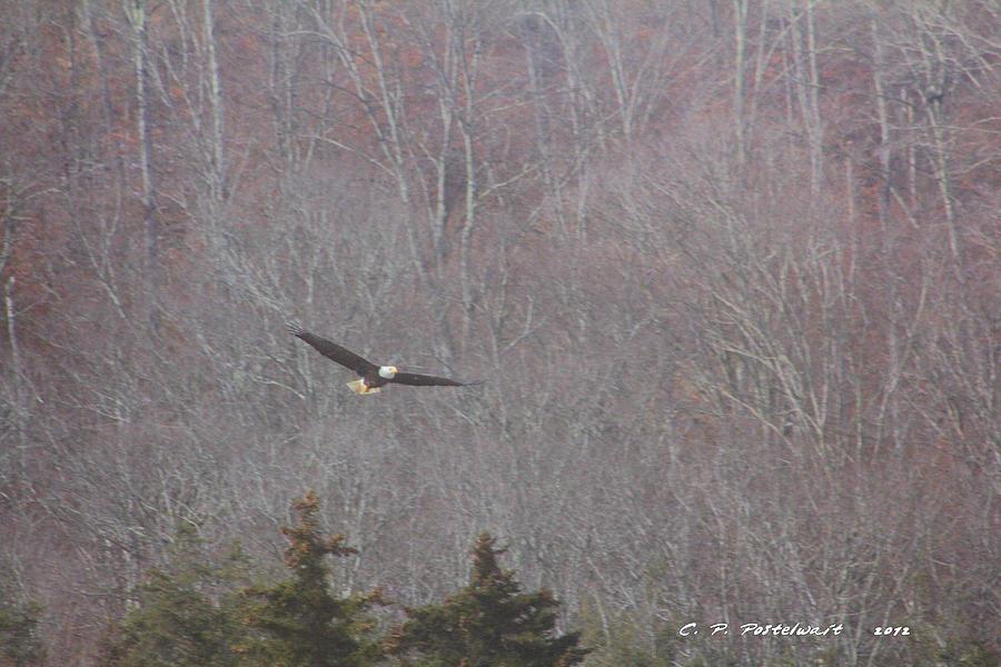 Bald Eagle West Virginia