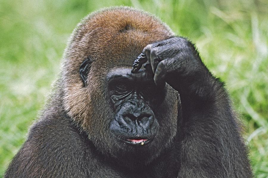 Animal Head Photograph - Western Gorilla Portrait With Finger On by David Ponton