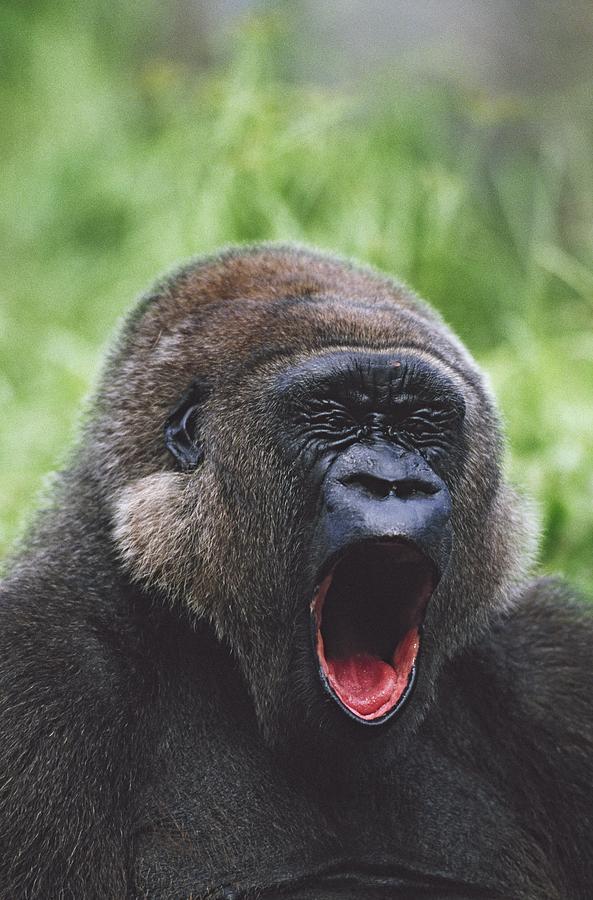 Western Gorilla Yawning, Africa Photograph by David Ponton