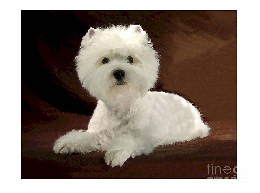 Westie Digital Art - Westie 315 by Larry Matthews