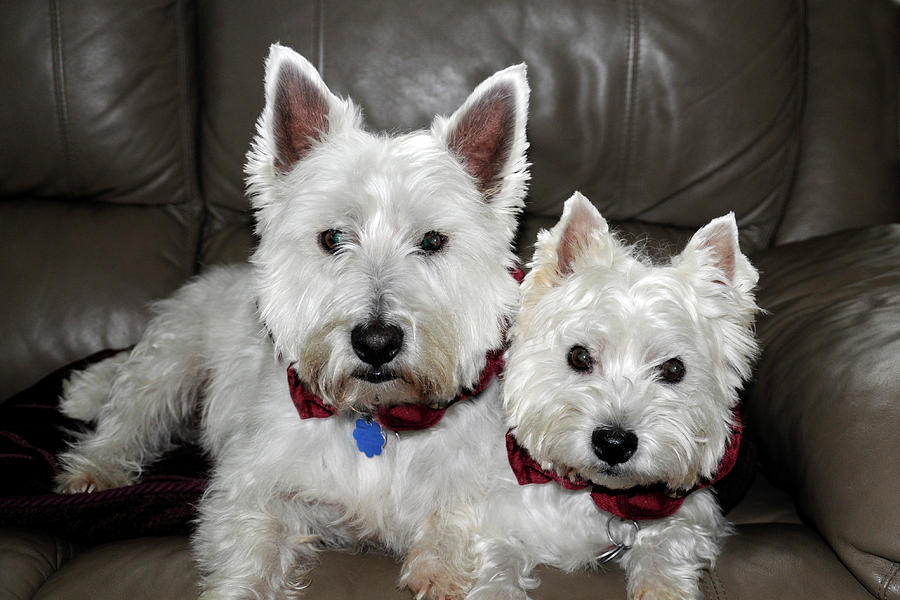 Westie World Photograph