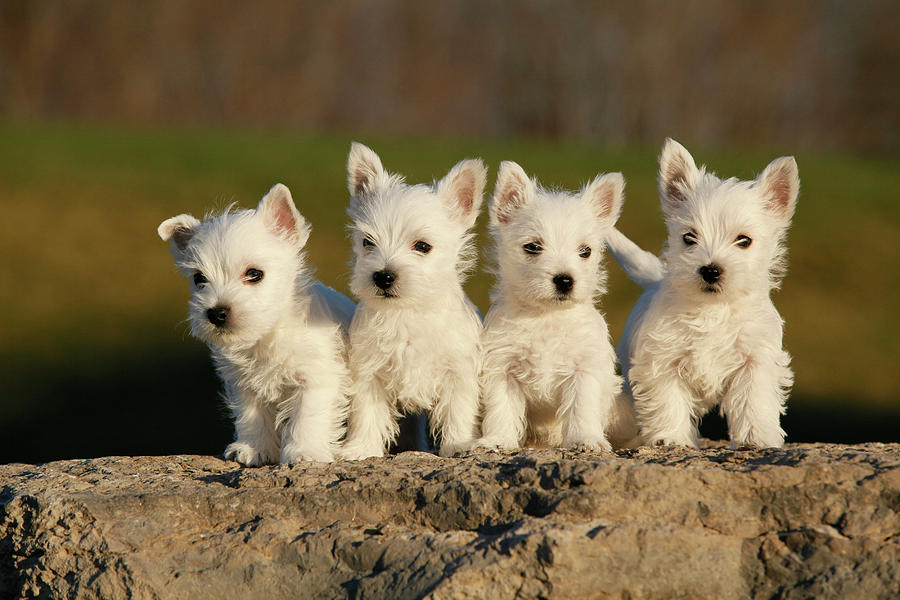 Westies On The Rock Photograph