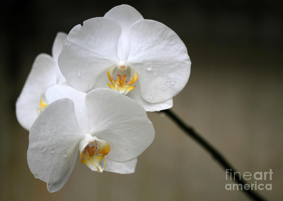Wet White Orchids Photograph  - Wet White Orchids Fine Art Print