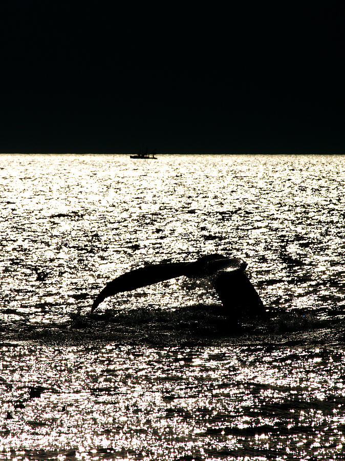 Banks Blue Breach Fin Fluke Humpback Ocean Sea Seas Silver Tail Whale Wild Wildlife Nature Boat Boating Sun Sunset Reverse Light Shining Landscape Landescapes  Photograph - Whale In Sunset by Paul Ge