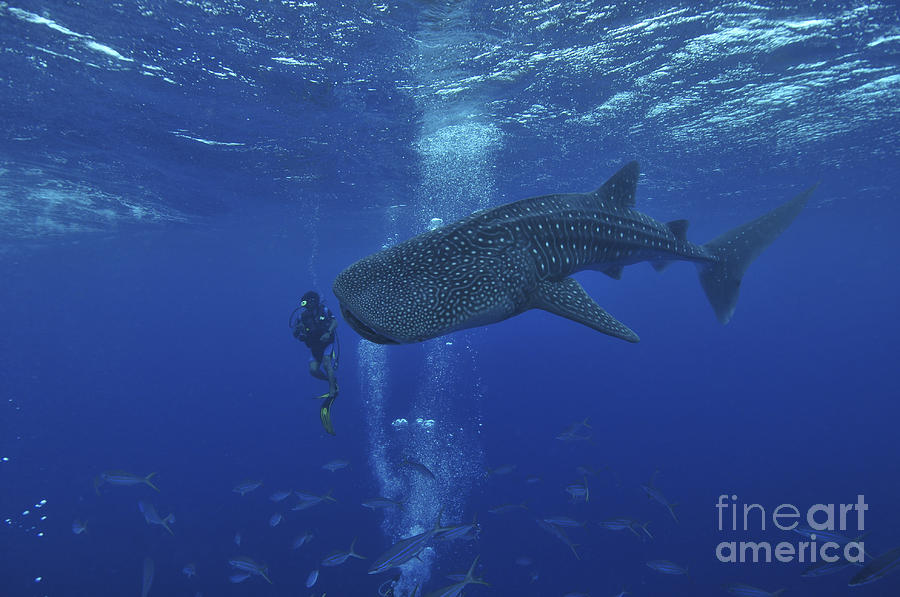 Whale Shark And Diver, Maldives Photograph