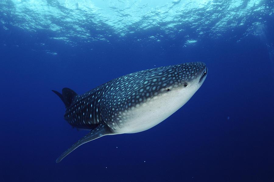 Whale Shark Rhincodon Typus Photograph
