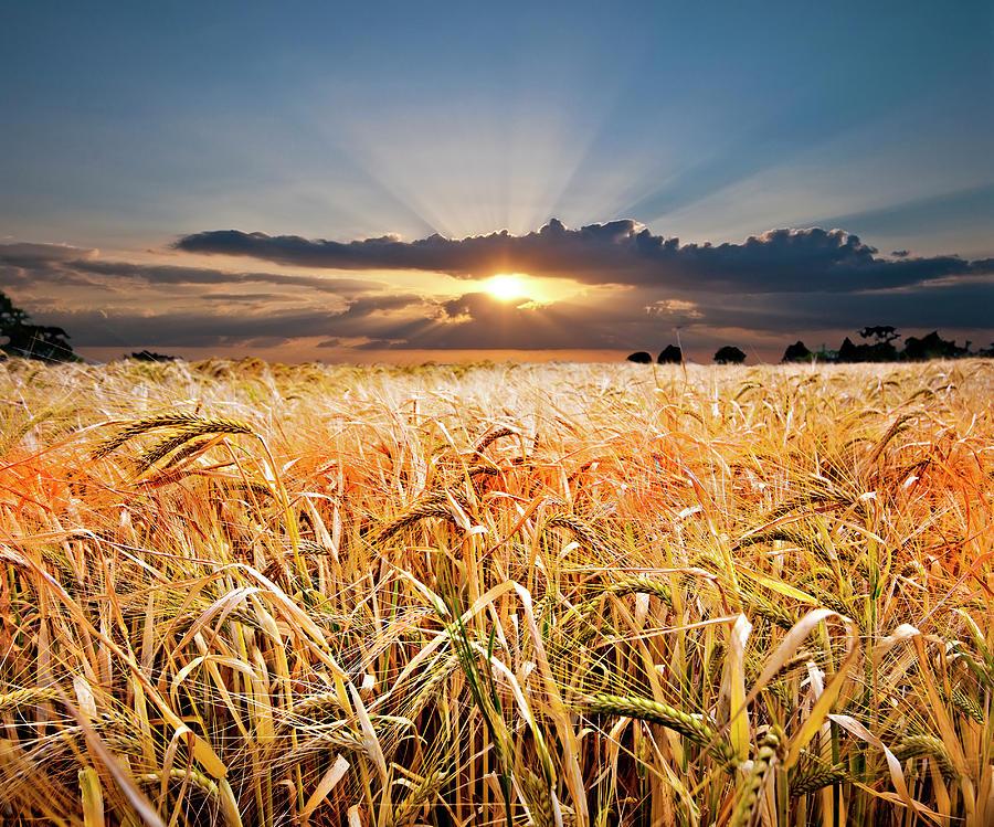 Wheat At Sunset Photograph