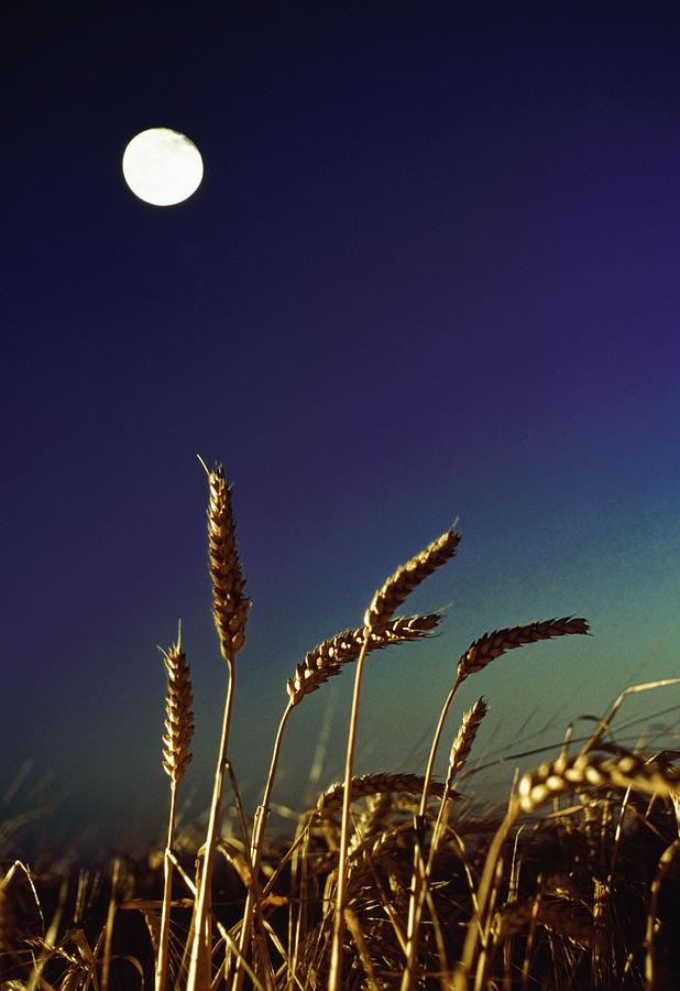 Wheat Field At Night Under The Moon Photograph