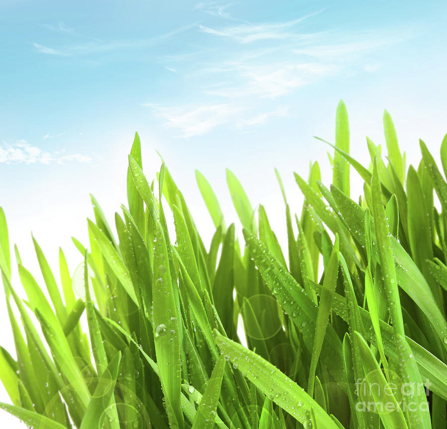 Wheatgrass Against A White Photograph  - Wheatgrass Against A White Fine Art Print