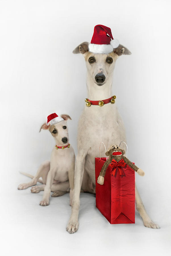 Whippet Christmas Digital Art  - Whippet Christmas Fine Art Print