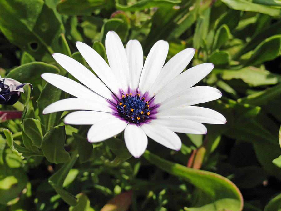 White African Daisy Photograph