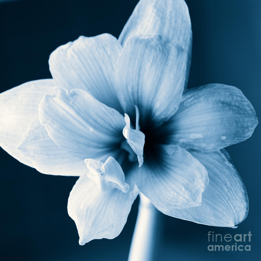 White Amaryllis Flower In Black And White In Blue Tones Photograph  - White Amaryllis Flower In Black And White In Blue Tones Fine Art Print