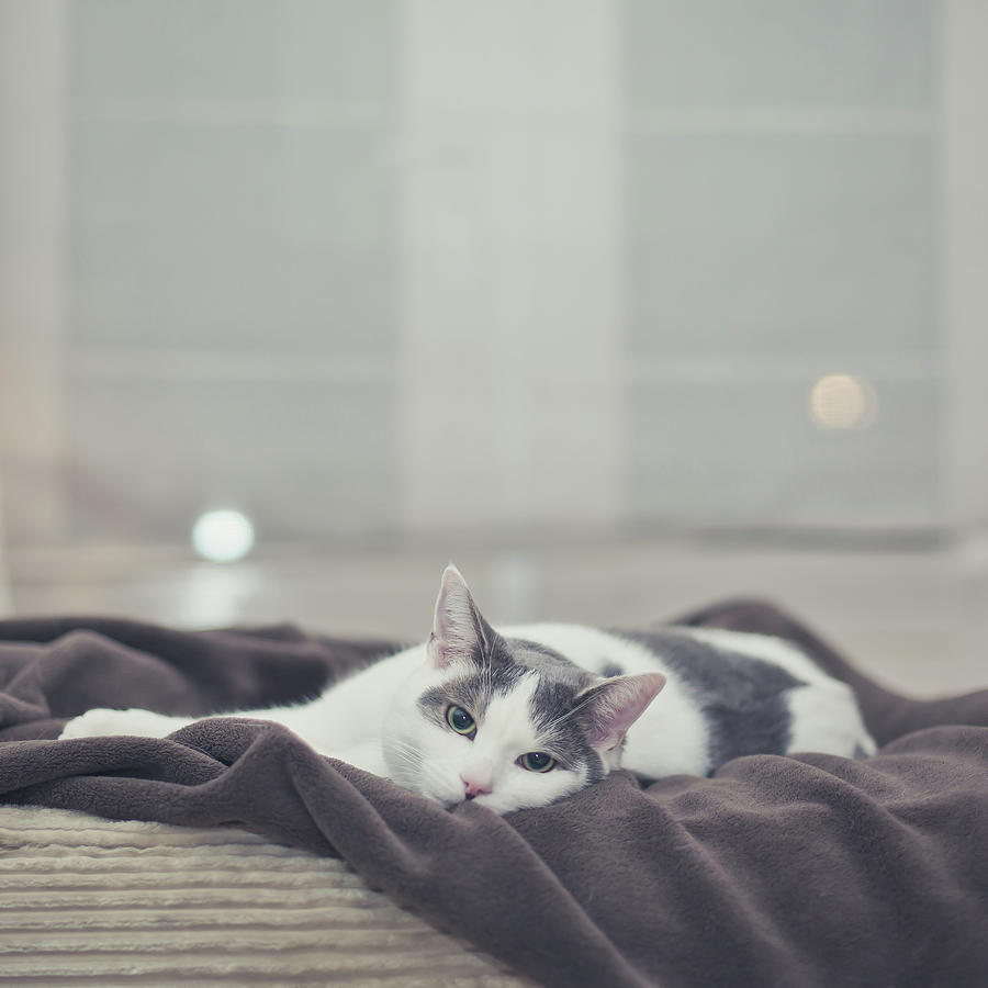 White And Grey Cat Lying On Brown Blanket Photograph  - White And Grey Cat Lying On Brown Blanket Fine Art Print