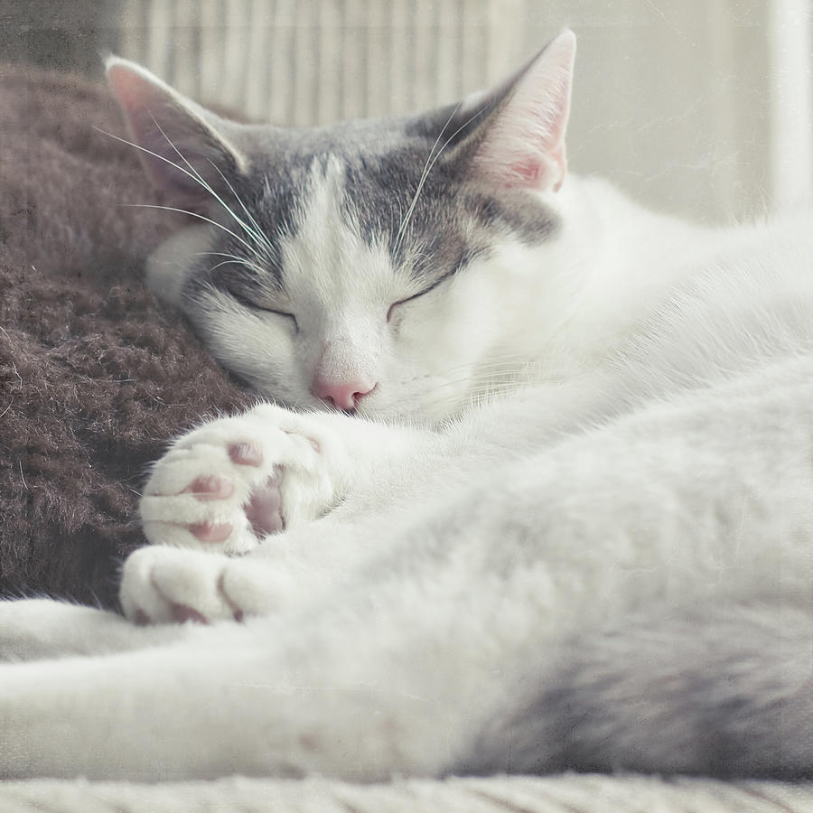 white and grey cat taking nap on couch photograph by cindy. Black Bedroom Furniture Sets. Home Design Ideas