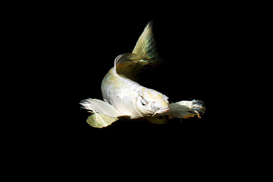 Koi Photograph - White Angel by Don Mann
