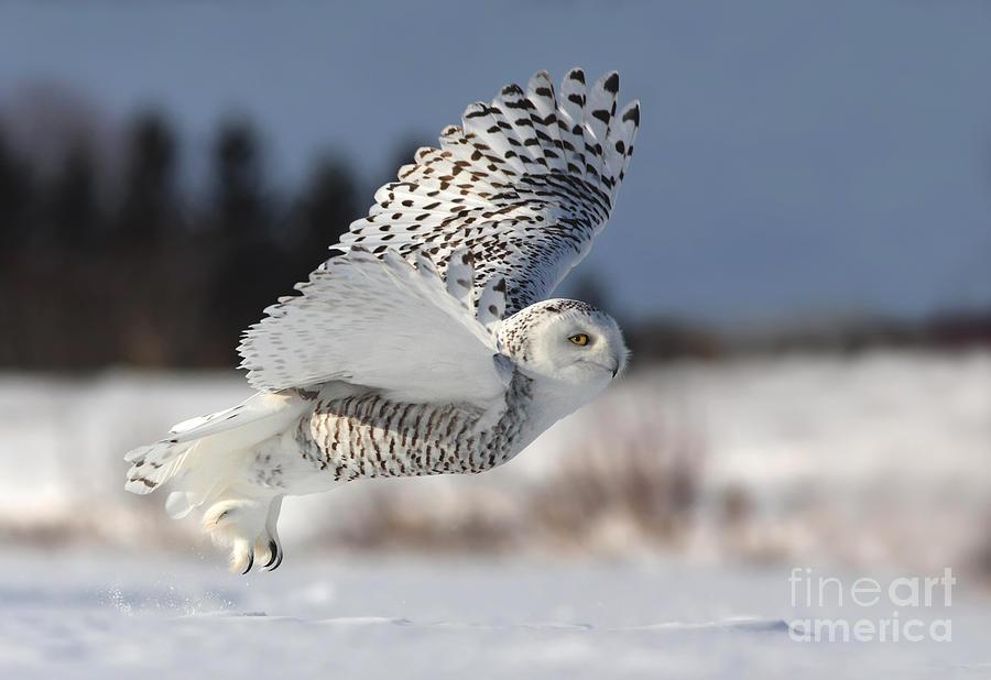 White Angel - Snowy Owl In Flight Photograph