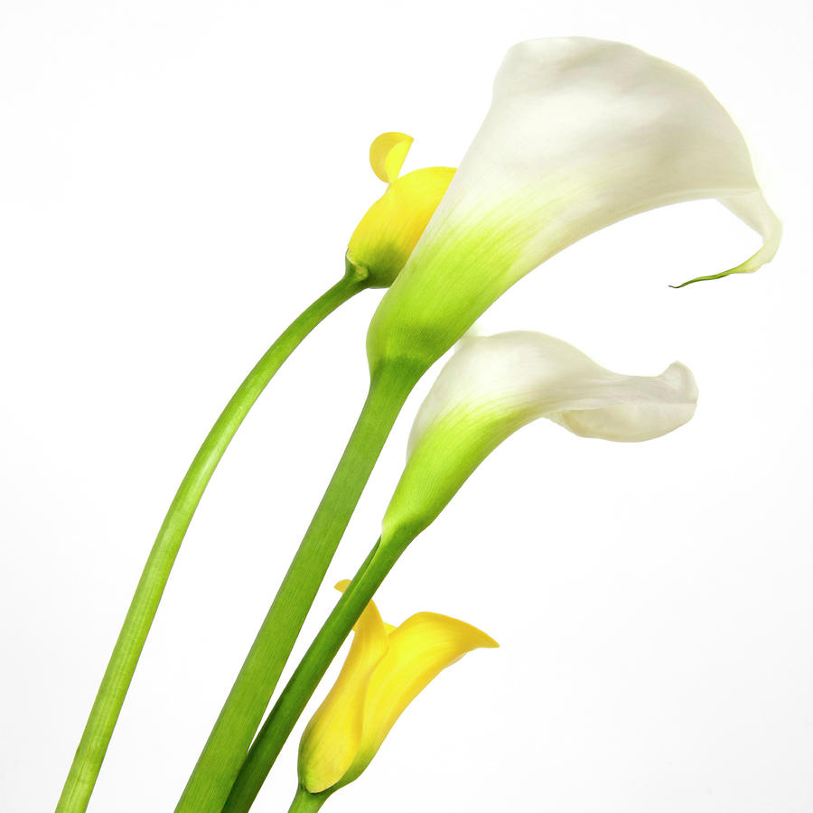 White Arums In Studio. Flowers. Photograph