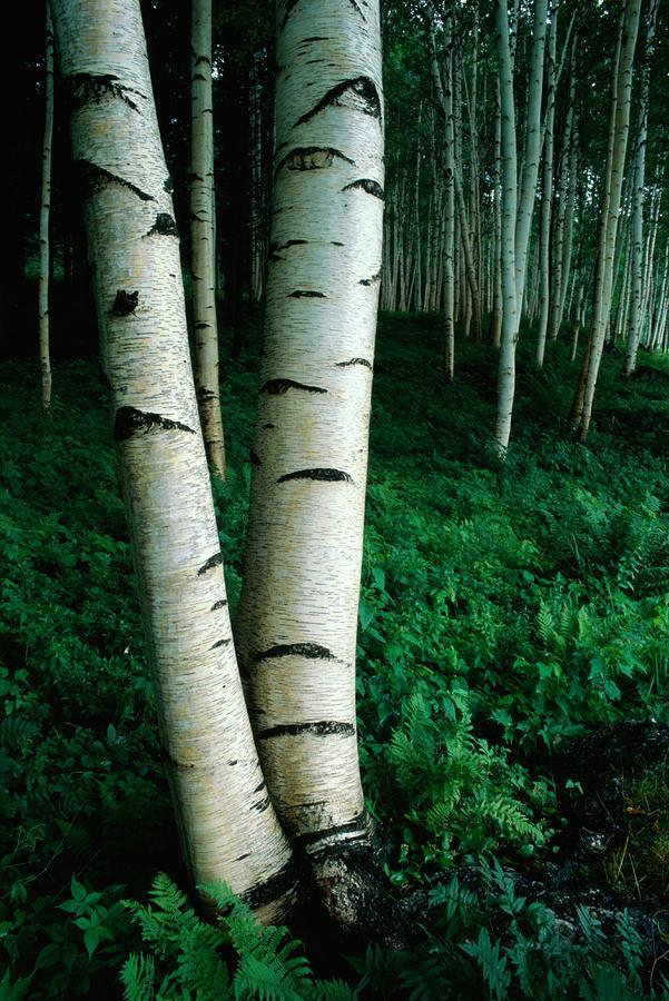 White Birch Trees Betula Pendula Crowd by Phil Schermeister